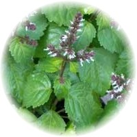 Herbs gallery - Patchouli