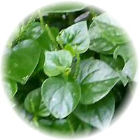 Herbs gallery - Peperomia