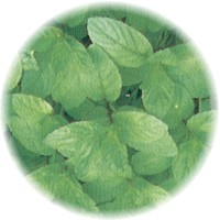 Herbs gallery - Peppermint