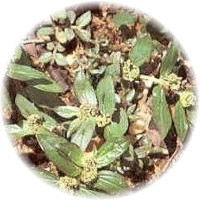 Herbs gallery - Pill-Bearing Spurge