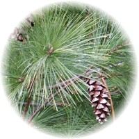 Herbs gallery - White Pine