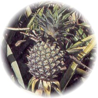 Herbs gallery - Pineapple