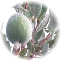 Herbs gallery - Pineapple Guava