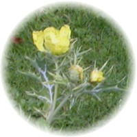 Herbs gallery - Prickly Poppy