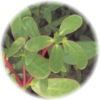 Herbs gallery - Purslane