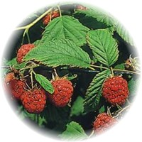 Herbs gallery - Raspberry