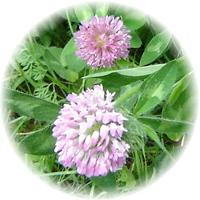 Herbs gallery - Red Clover