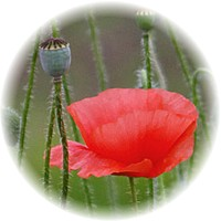 Herbs gallery - Red Poppy