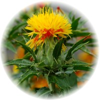 Herbs gallery - Safflower