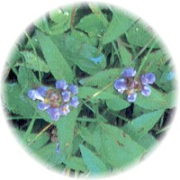 Herbs gallery - Self-Heal