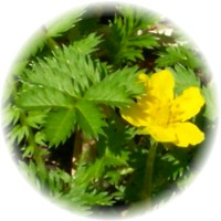 Herbs gallery - Silverweed