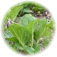 Herbs gallery - Skunk Cabbage