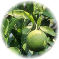 Herbs gallery - Sweet Lemon