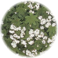 Herbs gallery - Sweet Woodruff