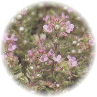 Herbs gallery - Thyme