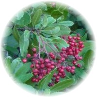 Herbs gallery - Toyon
