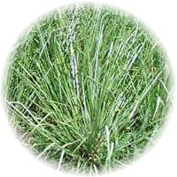Herbs gallery - Vetiver