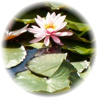 Herbs gallery - Water Lily