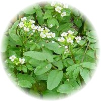 Herbs gallery - Watercress