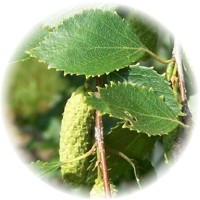 Herbs gallery - White Birch