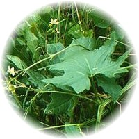 Herbs gallery - White Bryony