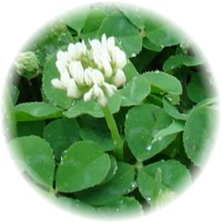 Herbs gallery - White Clover