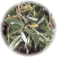 Herbs gallery - White Willow
