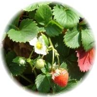 Herbs gallery - wild strawberries