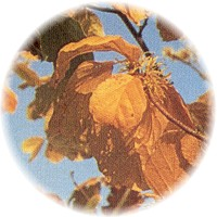 Herbs gallery - Witch Hazel
