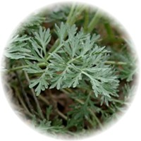 Herbs gallery - Wormwood