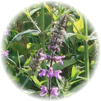 Herbs gallery - Woundwort