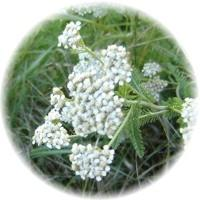 Herbs gallery - Yarrow