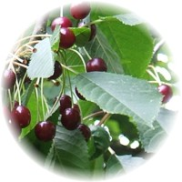 Herbs gallery - Cherry