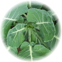 Herbs gallery - Collard Greens